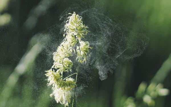 Jak upały wpływają na wzrost liczby alergików?