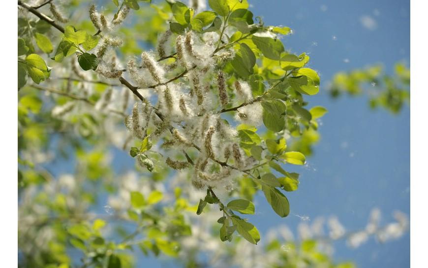 Nasiona topoli - czy unoszący się w powietrzu alergiczny pył jest szkodliwy dla zdrowia?